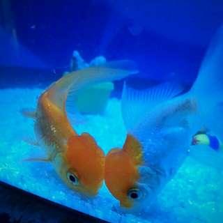 Gold fish full set aquarium for SALE