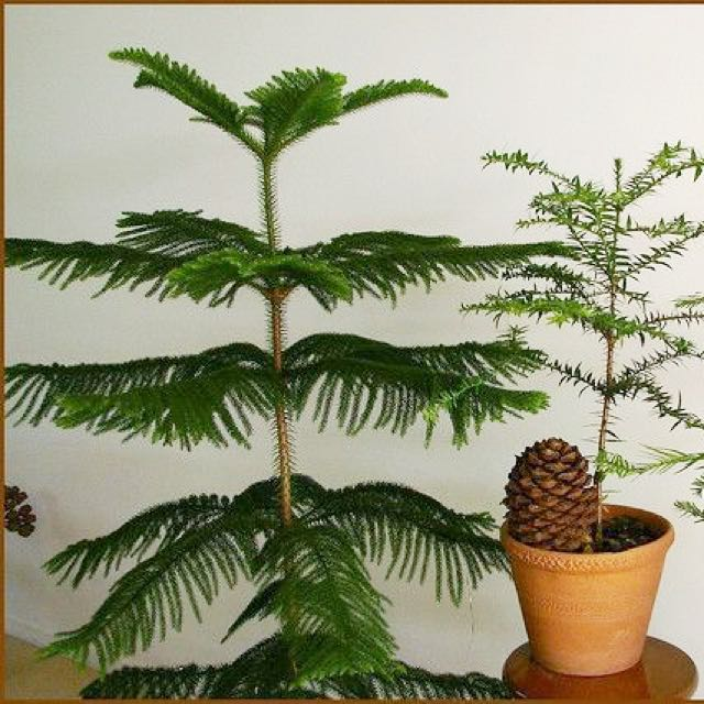 Young Norfolk Pine 塔松 Potted Araucaria Heterophylla Christmas