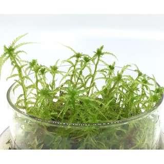 Live Sphagnum moss ( Various species )