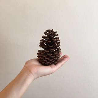 🌲 huge natural pine cone Echinacea Christmas ornament decoration interior or office desk