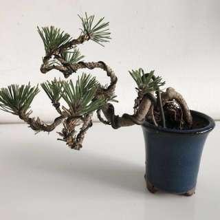 Japanese Black Pine Bonsai - beautiful form