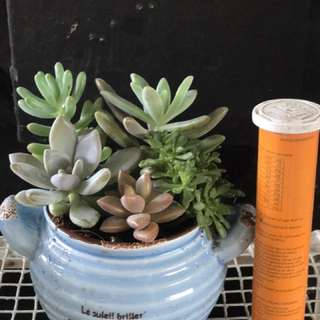 Christmas gift for Office & home table plants