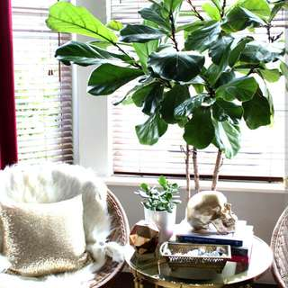Fiddle fig Plants