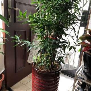 Japanese bamboo in beautiful pot