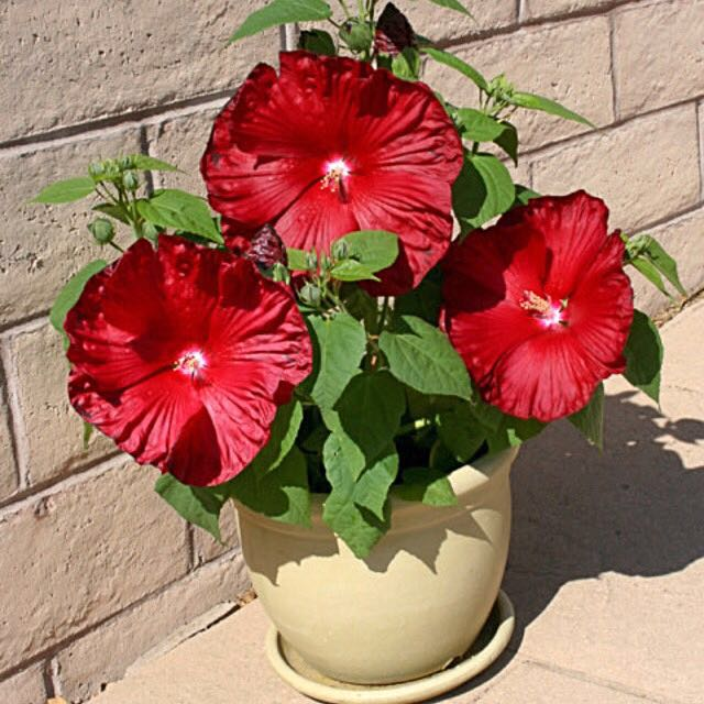 Giant Hibiscus Mix Color Seeds