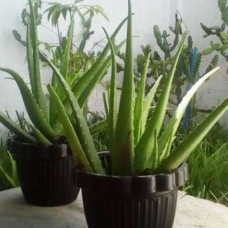 ALOE VERA PLANTS, CACTUS AND OREGANO PLANTS
