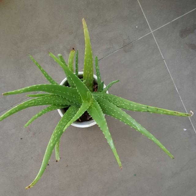 Aloe Vera Medium
