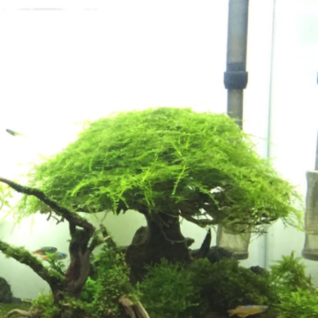 christmas moss tree on carousell - Christmas Moss