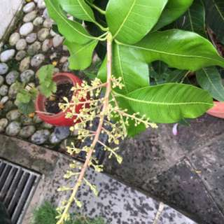 Mango plant - Flowering and fruiting soon