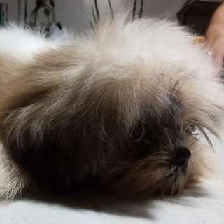 Shih tzu puppy (male)