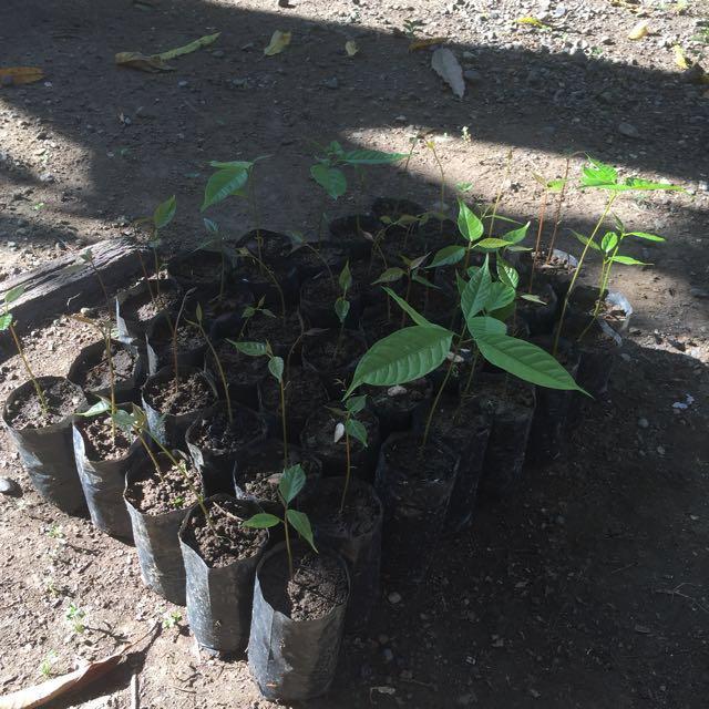 Mahogany Seedlings 🌱