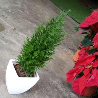 Mini Christmas Tree(plant:$10/pot:$8)