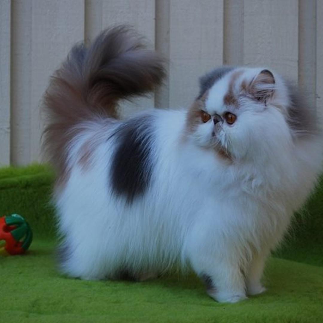 Download 94+  Gambar Kucing Jantan Persia Peaknose Paling Keren