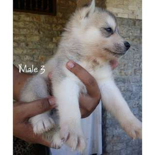 Siberian Husky Puppy (Male#3) Pure Breed with PCCI and med record