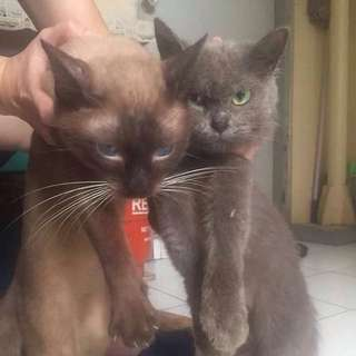 RUSH!!! As PACK!!! Siamese and Persian Cat Need for re-homing... RFS: moving out...