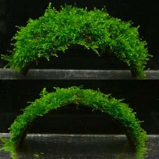 Anchor Moss (NO CO2 or chiller required!)