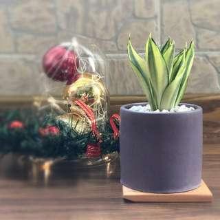 Snake plant in purple concrete pot