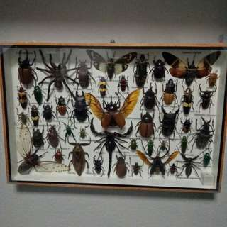 Insect Taxidermy Set in Wooden Box