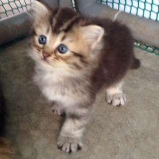Persian Kitten DLH