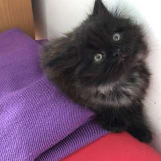 2 months old Persian kitten looking for lovable new owner