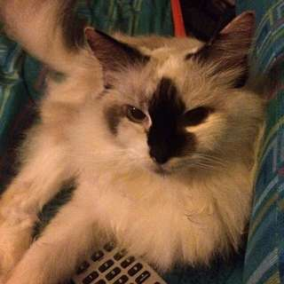 Looking For Lost Female  Ragdoll
