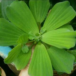 [WHILE STOCK LAST] GARDENING/PET - Extra Large-size Water Lettuce/Water Cabbage/Pistia Stratiotes For Sale