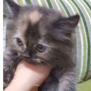 Parsi Kitten