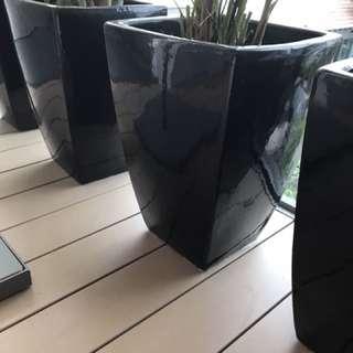 4 European Palms in black ceramic pots