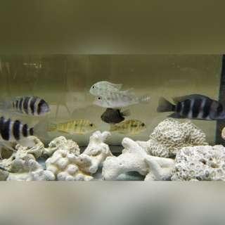 Frontosa & Eartheater Fish