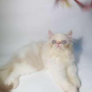 Kitten kucing persia