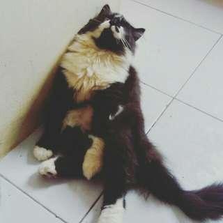 TURUN HARGA Kucing Ras Persian Pejantan Tangguh