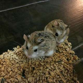 Two Cute Hamsters with Cage