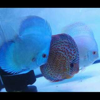 "5.5"" blue diamond and white Web snake 5.5"" both big adult discus"