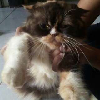 Female persian for adoption with fees