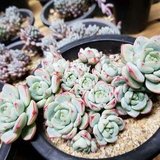 Succulent from Korea!