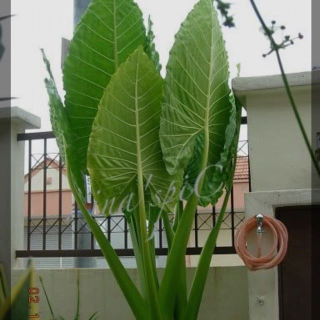 Keladi Gajah Home Furniture Gardening On Carousell
