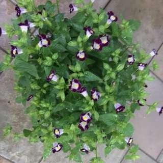 Purple Torenia Plants