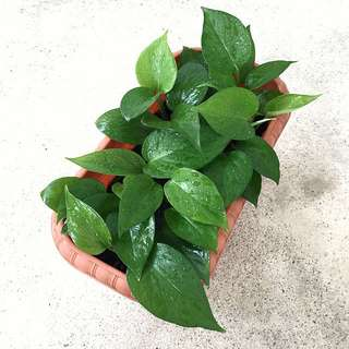 🌿 Potted Green Jade Pothos | Great Air Purifying Houseplant!! 🌿