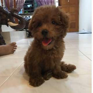 3month Toy Poodle for Sale