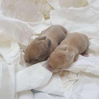 New born rabbit baby