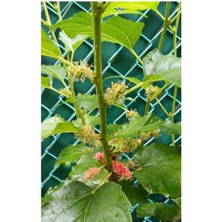 Rooted Mulberry ( 桑树 ) Cuttings