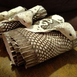 White/brown Cobra skin with head. Exotic leather. DIY leather. Leather crafting supplies.