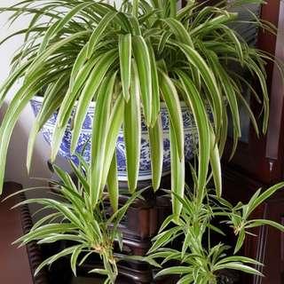 Spider Plants Air Purifier