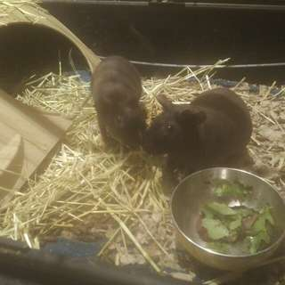 2 female skinny pigs, cage and accessories