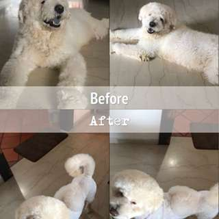 1 year old playful chow doodle for adoption with fee