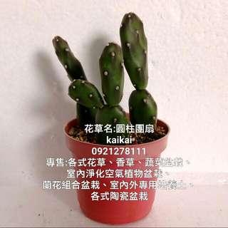 多肉植物:圓柱團扇