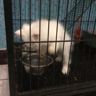 Jual anak kucing persia long hair (umr 3 bln)