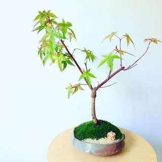 Bonsai (Maple Tree )