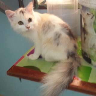 Kucing persian