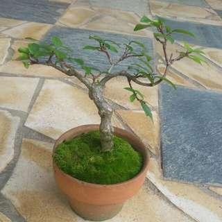 Shui mei bonsai